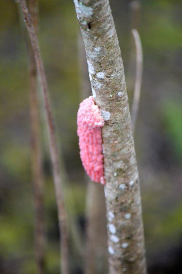 Channeled Apple Snail Eggs